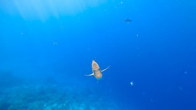 I pesci tropicali nuotano fuori dallo sfondo blu del mare, nuotano direttamente nella fotocamera con uno sguardo minaccioso.