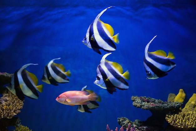 I pesci tropicali nuotano vicino alla barriera corallina. messa a fuoco selettiva