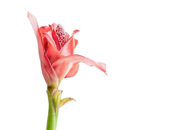 Zenzero rosso della torcia del fiore tropicale (etlingera elatior o zingiberaceae), isolato su fondo bianco, spazio della copia