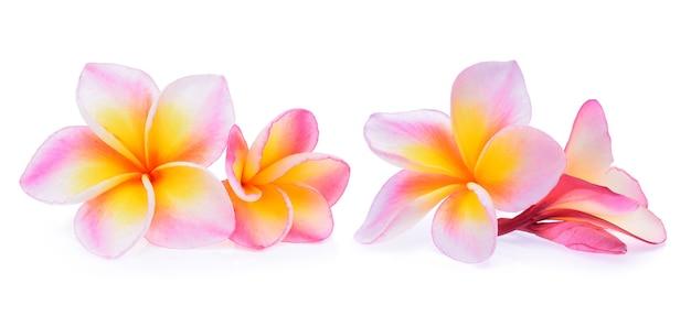 Fiori tropicali frangipani (plumeria) isolati su sfondo bianco