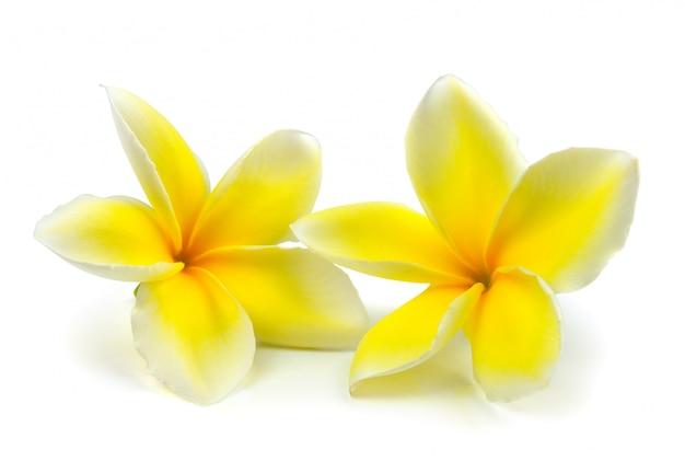 Frangipani tropicale dei fiori (plumeria) isolato su fondo bianco