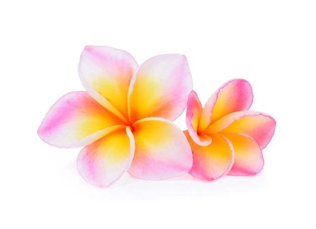 Frangipane di fiori tropicali (plumeria) isolato su bianco