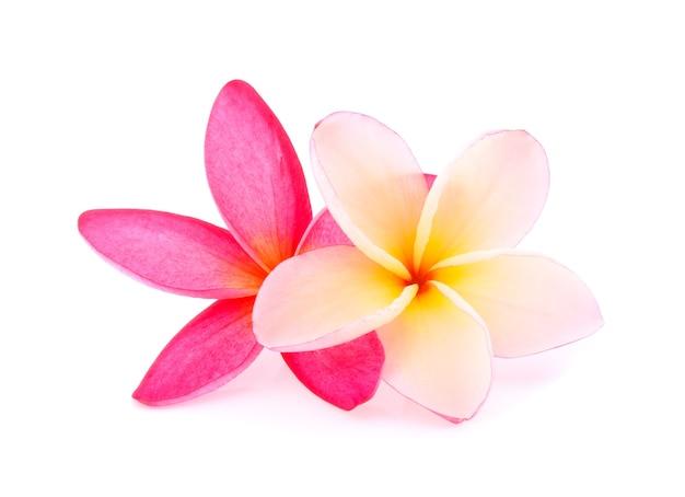 Frangipani fiori tropicali (plumeria) su bianco