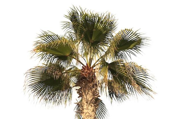 Foglia di palma verde tropicale isolata su fondo bianco