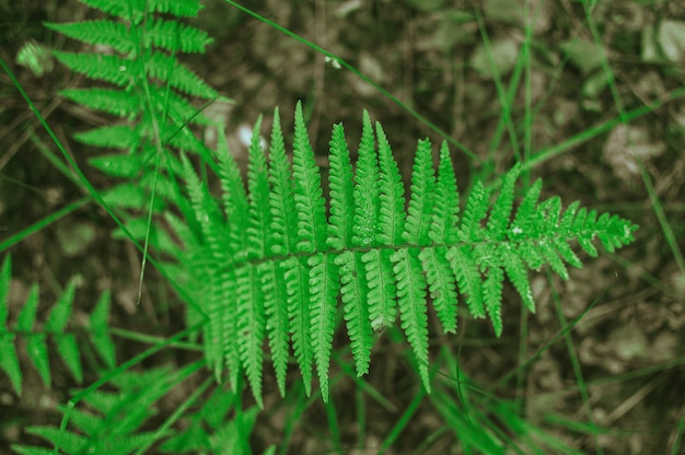 Foglie di felce selvatiche verdi tropicali