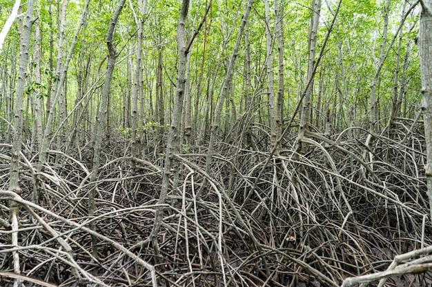 Foresta tropicale di mangrovie in thailandia