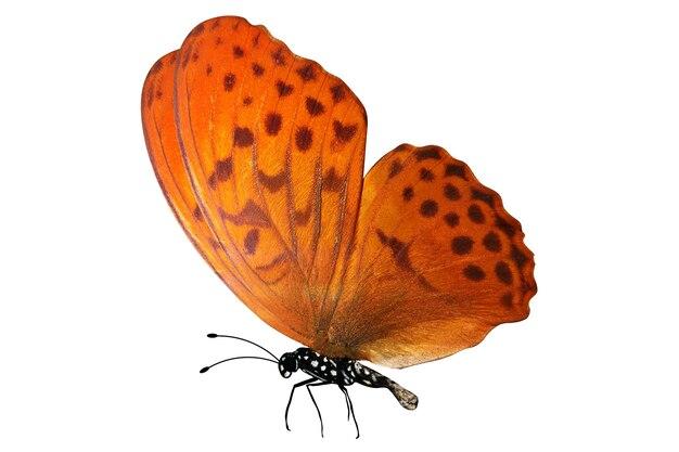 Farfalla arancione tropicale. isolato su sfondo bianco
