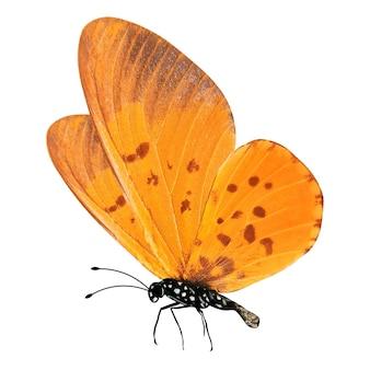 Farfalla arancione tropicale isolata su bianco