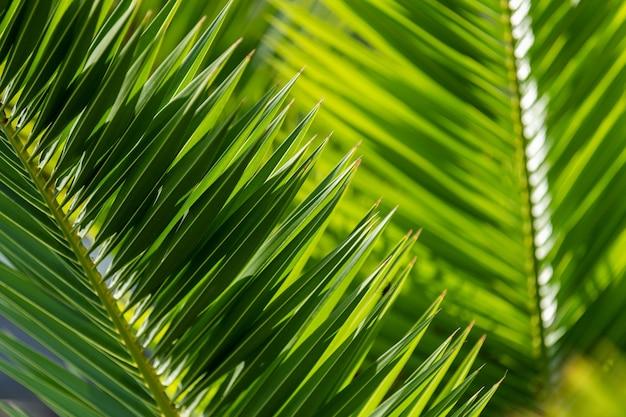 Fogliame di palma tropicale, sfondo verde