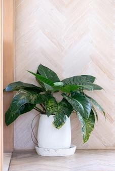 Pianta tropicale nel vaso di terracotta dipinta di bianco per la decorazione del soggiorno,