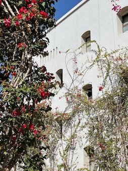 Pianta tropicale con fiori rossi sulla parete beige dell'edificio della casa