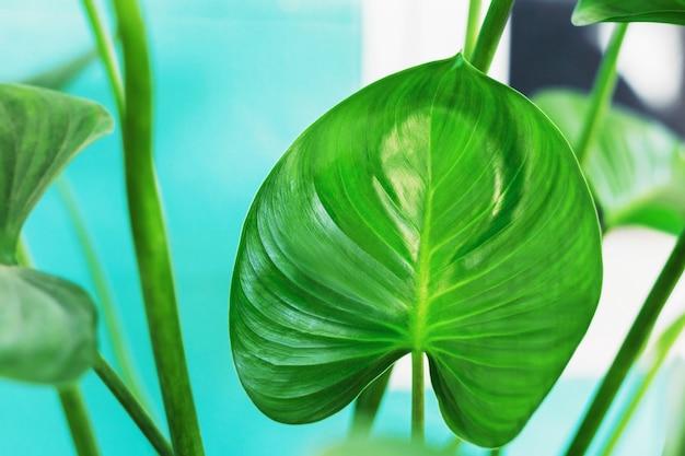 Le piante tropicali hanno bellissime foglie in vaso.