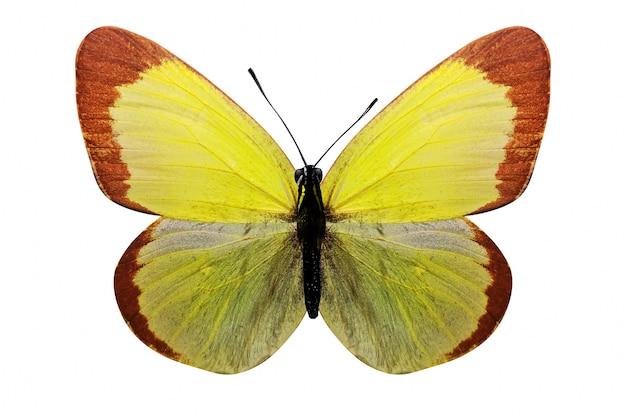 Farfalla gialla tropicale. isolato su sfondo bianco