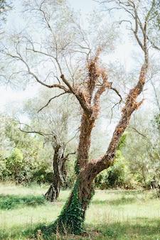 Il tronco di un ulivo è intrecciato con l'edera verde e secca
