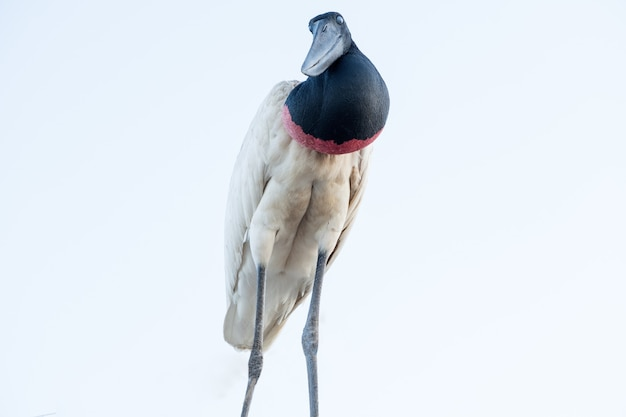 Tuiuiu uccello brasiliano del pantanal