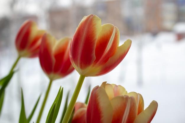 Primo piano del germoglio del tulipano. fiori. romance amore primavera