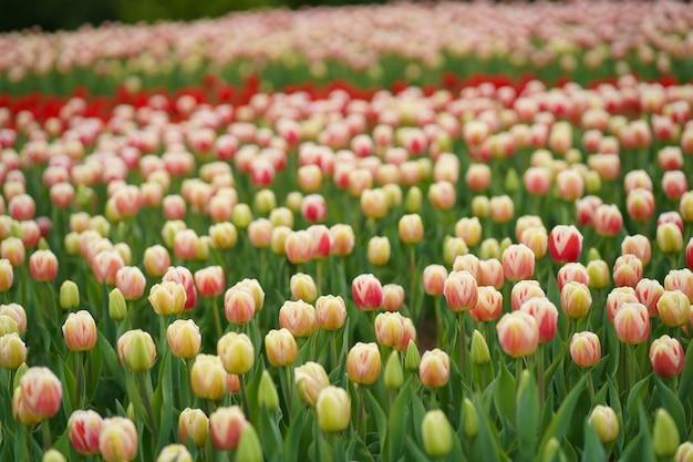 Campo di tulipani. bellissimo tulipano tra i tulipani. tulipani rosa con il primo piano della banda bianca. fiori in crescita in primavera.