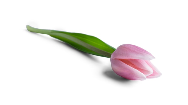 Fiore del tulipano isolato su priorità bassa bianca. foto di alta qualità