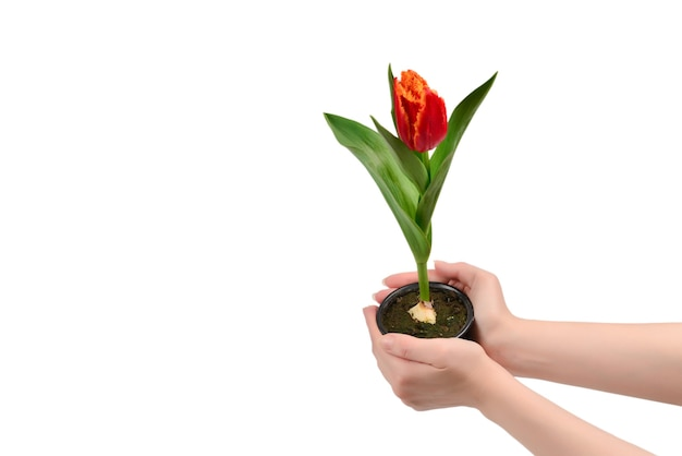 Tulipano in una pentola nelle mani della donna isolate su bianco.