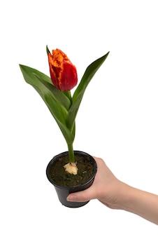 Tulipano in una pentola nelle mani della donna isolate su bianco