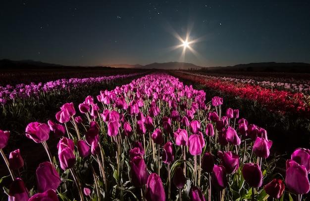 Tulipani nella notte. coltivazione di tulipani a trevelin, patagonia, argentina. alla luce di una luna piena
