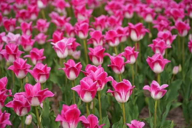 Tulipani rosa molti tulipani diverse varietà di tulipani luminosi fiori primaverili immagine di sfondo
