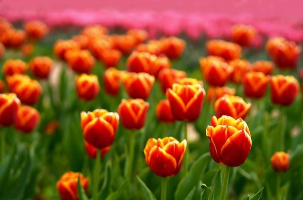 Tulipani rossi molti tulipani diverse varietà di tulipani fiori primaverili luminosi superficie messa a fuoco selettiva immagine bella immagine fiori per la vendita di vacanze di tulipani mostra o paesaggio