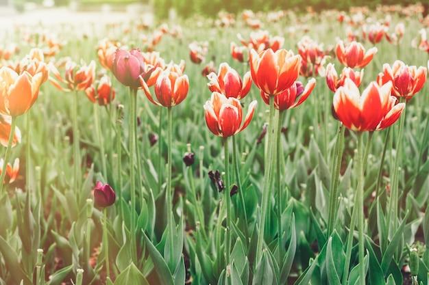 Piantine di tulipani per strada