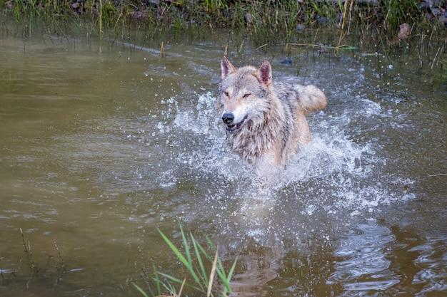 Tundra wolf che corre veloce e che spruzza attraverso l'acqua