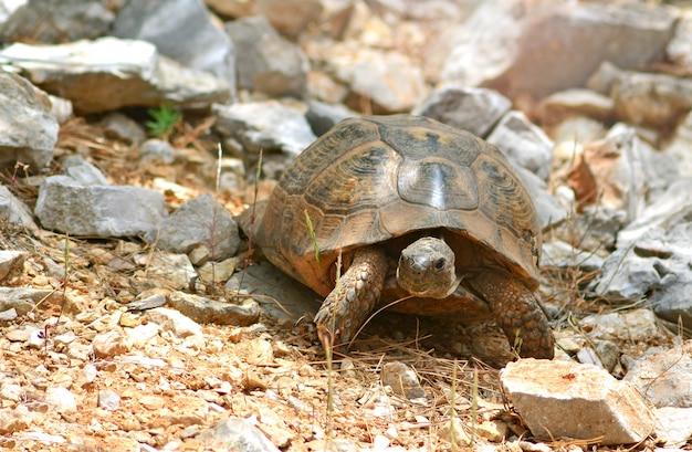 Tartaruga turca su una montagna di pietre