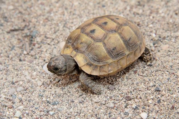 La tartaruga striscia lentamente sulla sabbia in una giornata di sole sulla spiaggia in natura