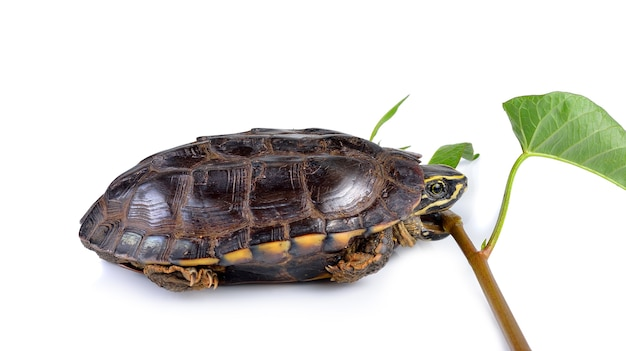 Tartaruga che mangia gloria di mattina su bianco