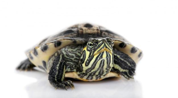 Tartaruga di fronte alla tartaruga della fotocamera di fronte a un backgroung bianco
