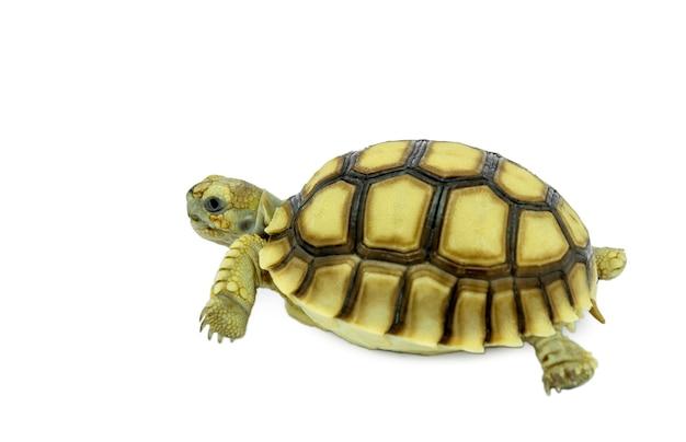 Tartaruga isolata su uno sfondo bianco. il file contiene tracciati di ritaglio, quindi è facile da lavorare.
