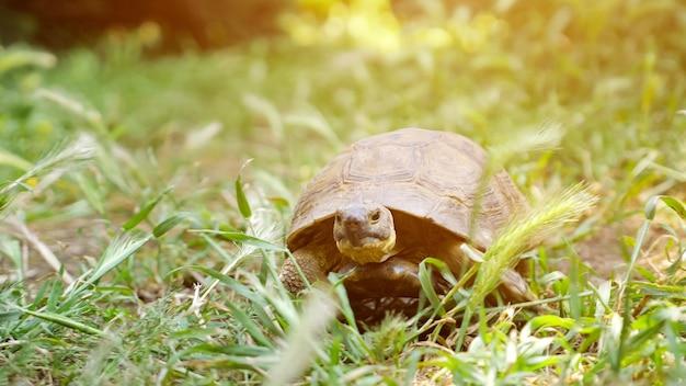 Tartaruga che si muove sull'erba verde fresca verso la telecamera