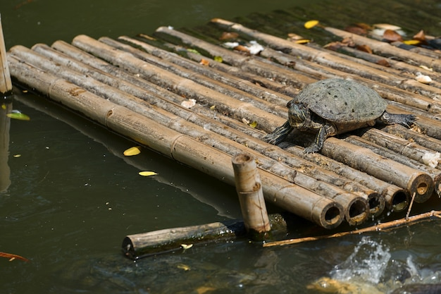 Basamento della tartaruga sulla zattera di bambù nello stagno