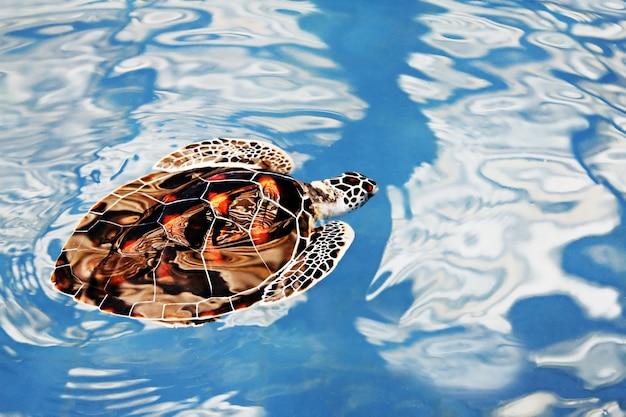 Tartaruga che nuota nell'acqua blu