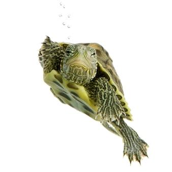 Nuoto della tartaruga davanti ad una priorità bassa bianca