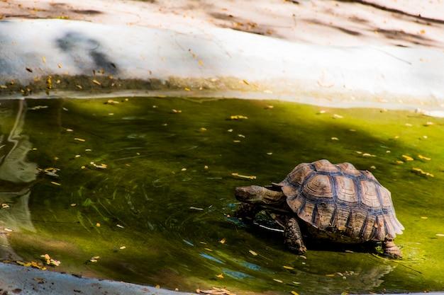 Tartaruga che cammina sullo stagno