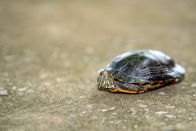 Tartaruga che cammina sul cemento stradale