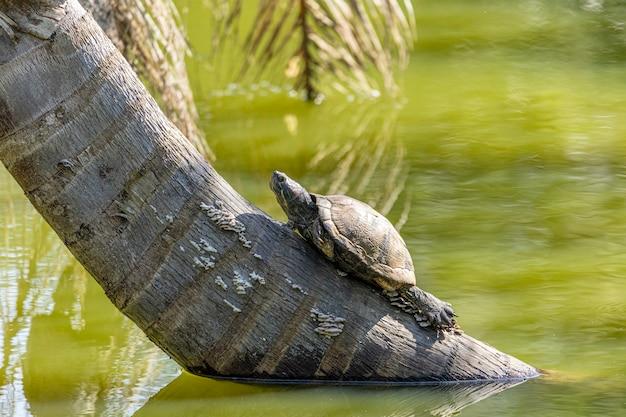 Tartarughe al sole sul lago.