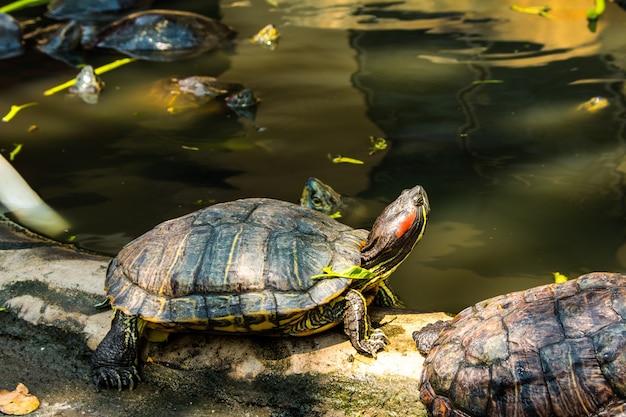 Tartarughe che espongono al sole allo stagno, tartarughe d'acqua dolce