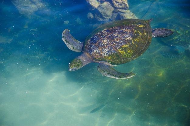 Tartarughe nell'acqua del mar rosso