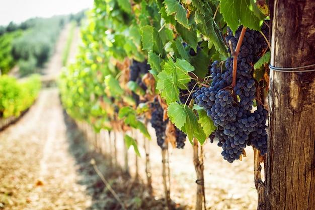 Vigneto toscano con uva rossa.