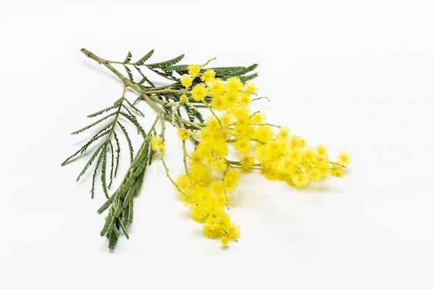 Ramoscello di fiori di mimosa isolati su bianco. dealbata di acacia. acacia d'argento