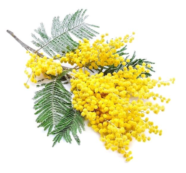 Ramoscello di fiori di mimosa isolato su bianco