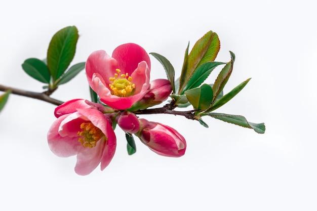 Ramoscello con fiore rosa prugna ciliegia sullo sfondo bianco, copia dello spazio.