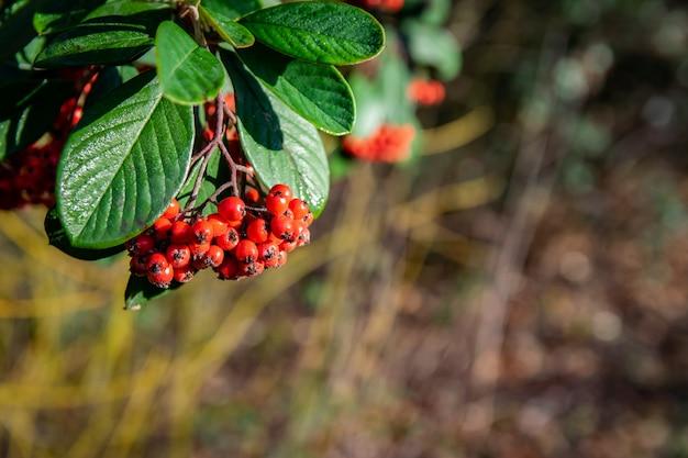 Ramoscello con frutti rossi maturi pyracantha coccinea.