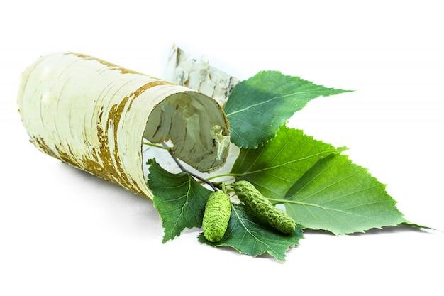 Pezzo contorto di corteccia di betulla con rami verdi.