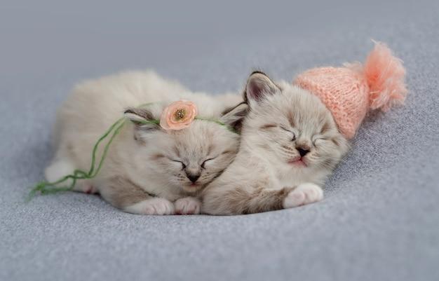 Due adorabili gattini ragdoll che dormono insieme su un tessuto azzurro che indossano berretto lavorato a maglia e decorazioni floreali durante il servizio fotografico in stile neonato in studio. simpatico ritratto di gattini che sonnecchiano